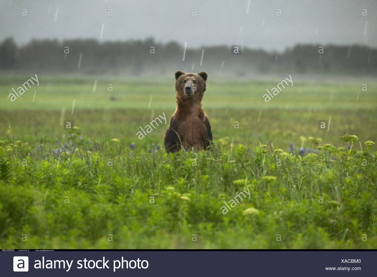 Brown Bear standing in the rain Katmai National Park Alaska - Stock Image