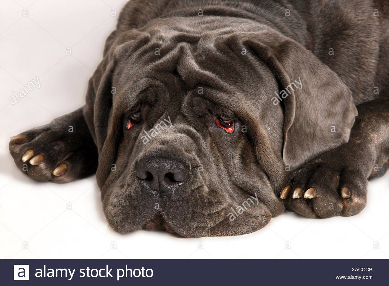 Wrinkles Face Dog Stock Photos & Wrinkles Face Dog Stock ...