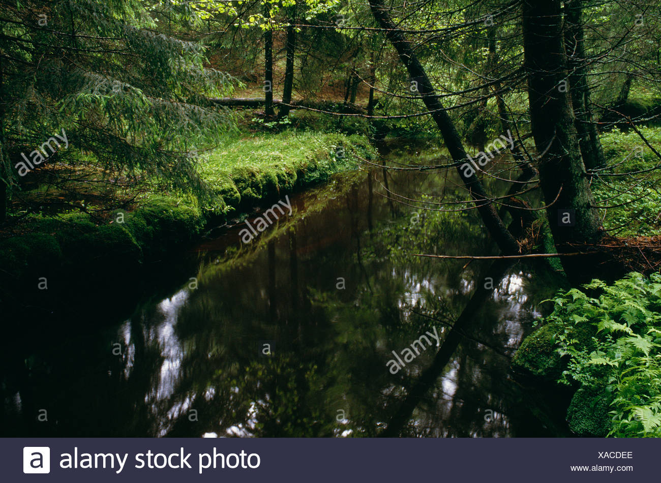 View of stream passing through coniferous forest Stock Photo