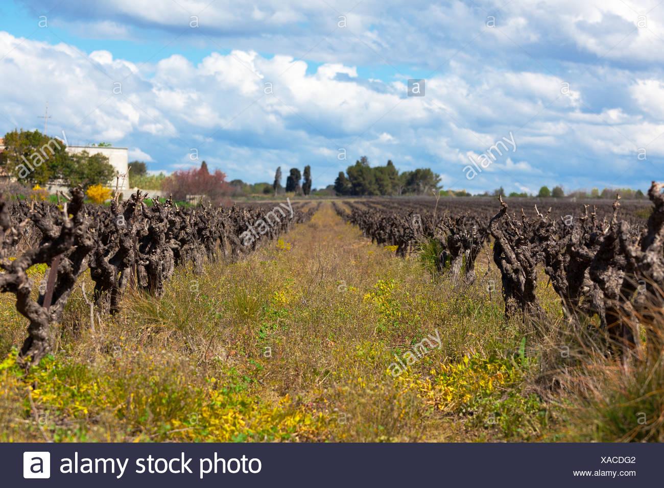 old grape vine - Stock Image