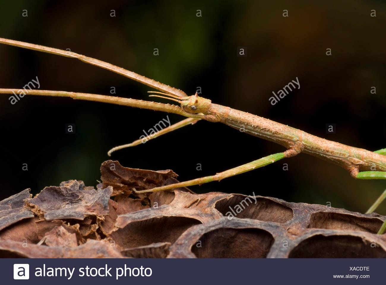 Vietnamese Stick Bug (Ramulus artemis, Baculum artemis), on a seed vessel - Stock Image