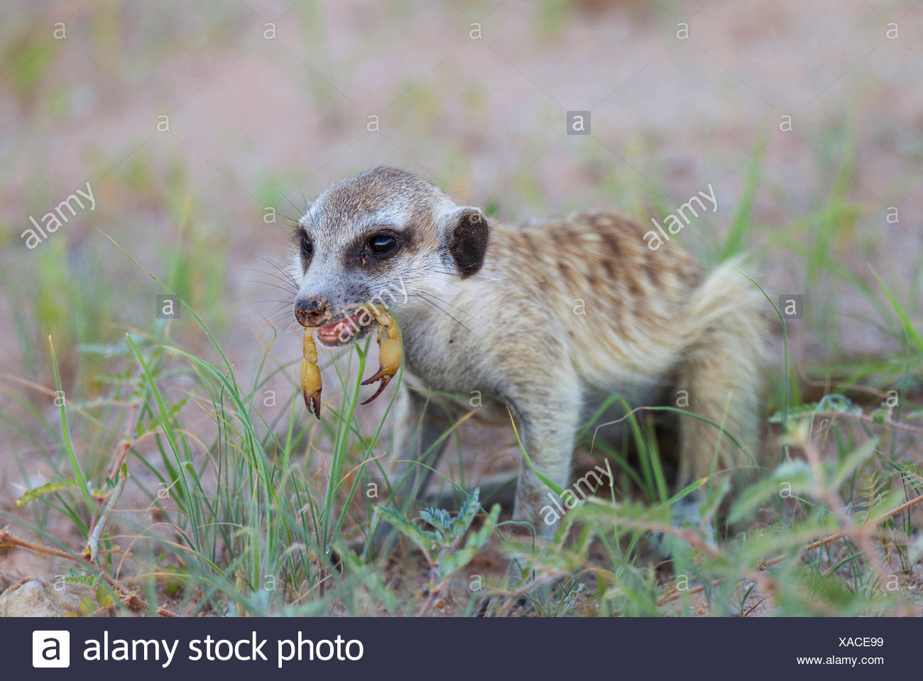 Suricate or meerkat (Suricata suricatta), feeding on a scorpion (Scorpiones), rainy season with green grass, Kalahari Desert - Stock Image