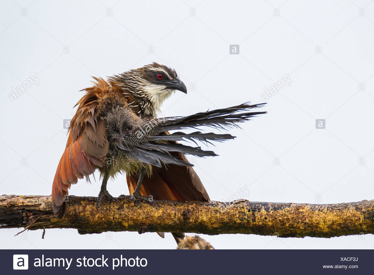 White-browed coucal, Centropus superciliosus, drying its wing. - Stock Image