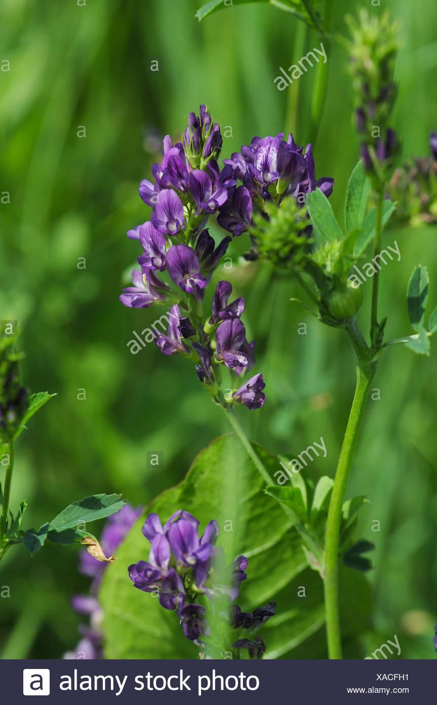 Gemeinsame plant luzerne medicago sativa wildpflanze bltenpflanze pflanze @CH_16
