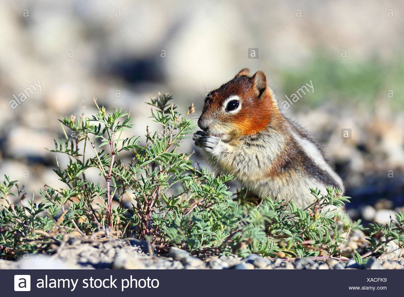 golden-mantled ground squirrel (Spermophilus lateralis, Citellus lateralis, Callospermophilus lateralis), sits on the groung and is eating, Cananda, Banff National Park - Stock Image