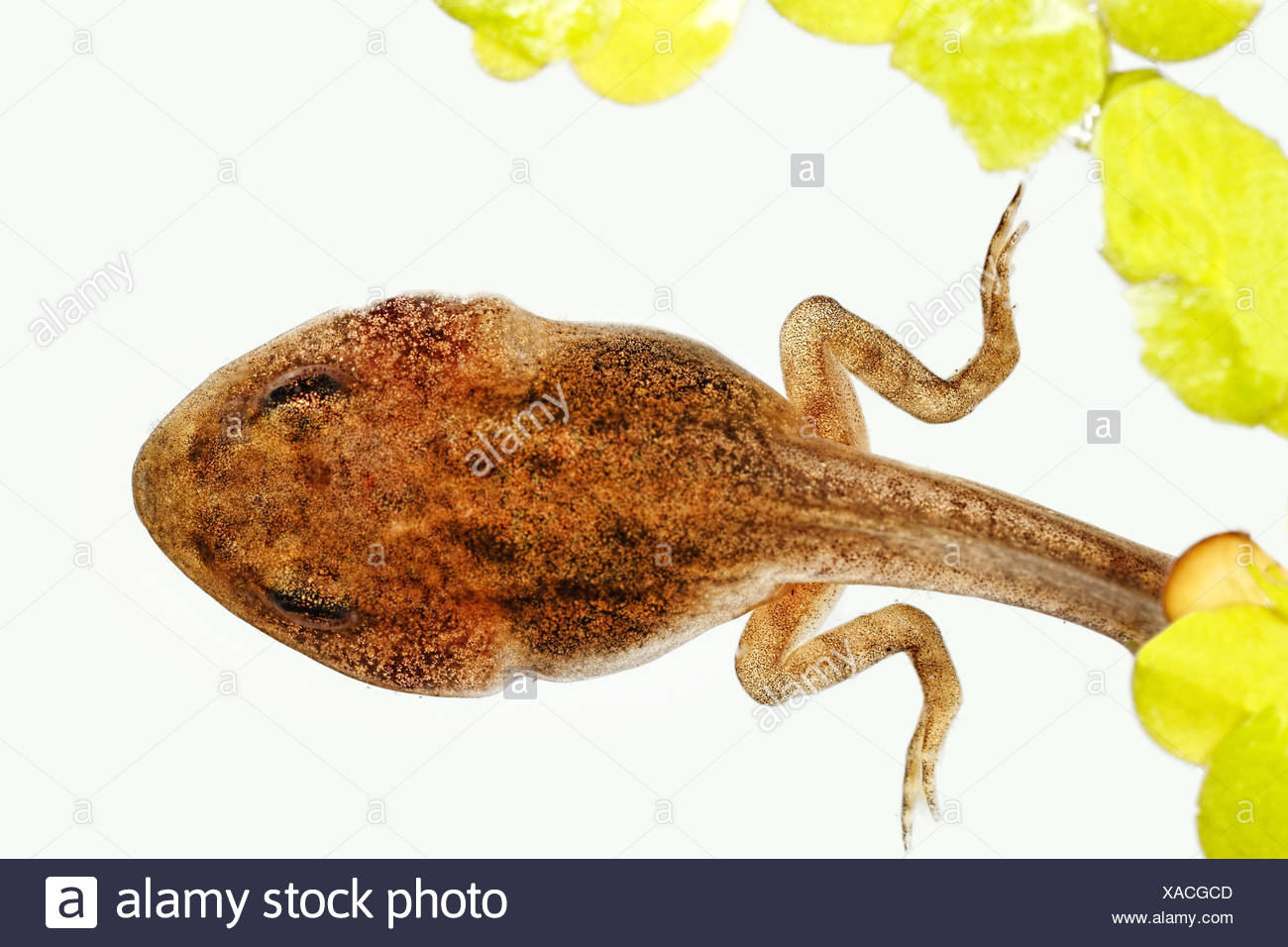 tadpole with duckweeds Rana temporaria grass frog - Stock Image