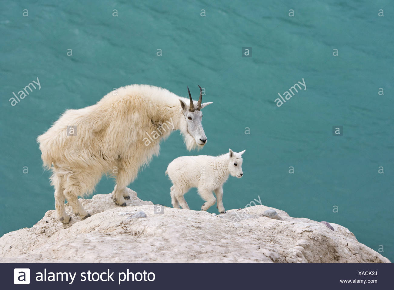 Mountain goat (Oreamnos americanus), nanny and kid, overlooking the Athabasca River, Jasper National Park, Alberta, Canada. - Stock Image