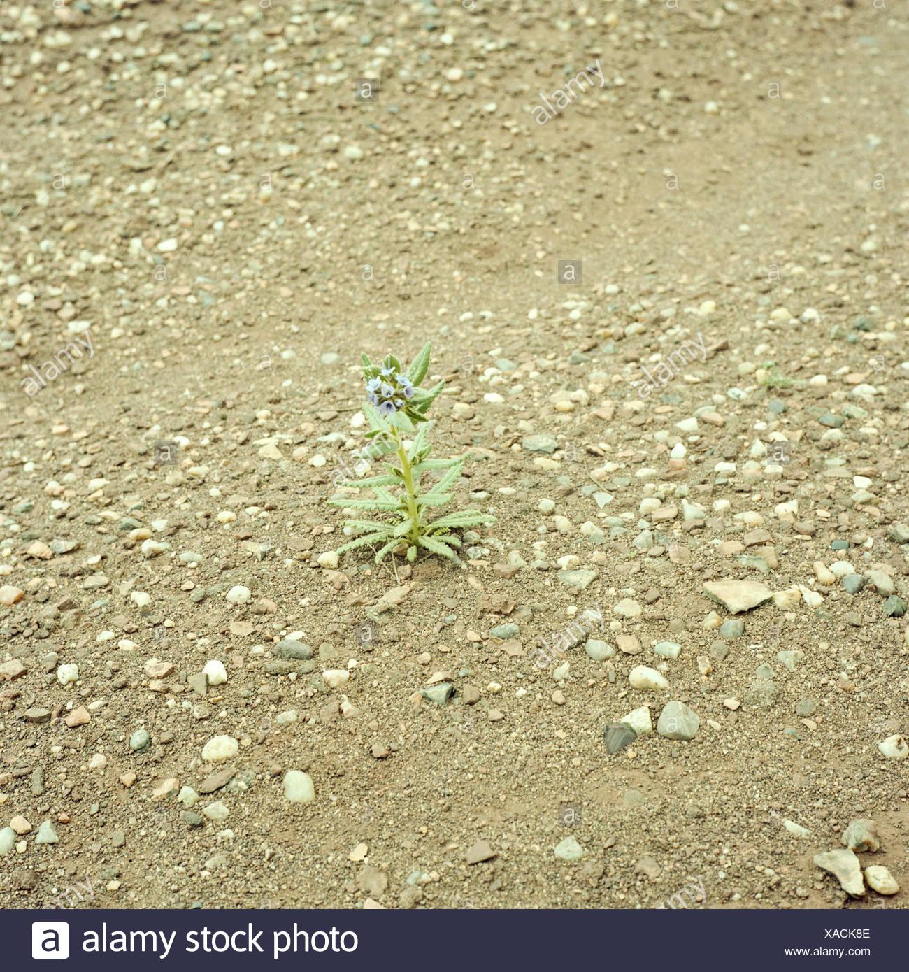 Single flower in desert - Stock Image