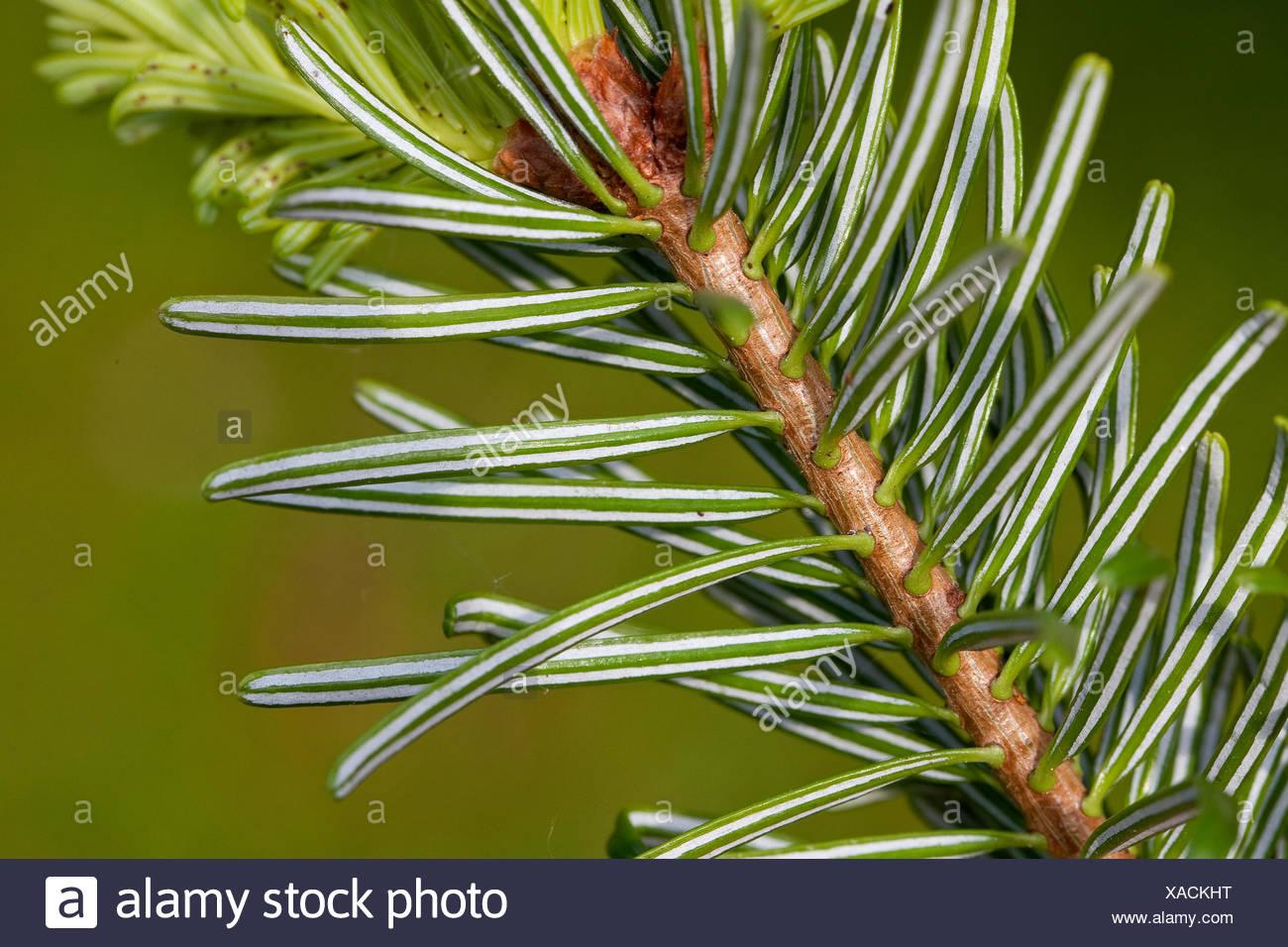 Nordmann Fir, Caucasian Fir, Christmas Tree (Abies nordmanniana), lower side of a branch - Stock Image