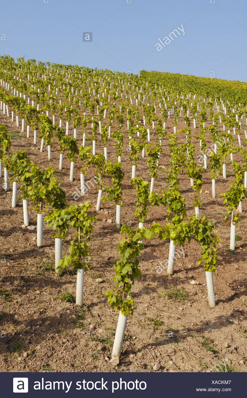 Wine-growing, vines, seedlings, protective coverings, Germany, Baden-Wurttemberg, vineyard, plants, small, young, protection, sleeves, protection against cold, viticulture, hill, rurally, agriculture, agriculture, plants, vines, wine region, series, Stock Photo