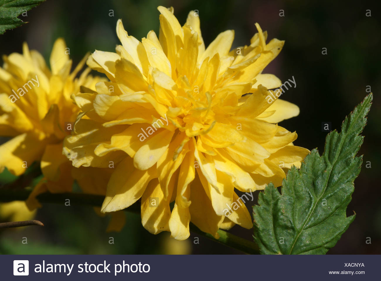 Ranunculus Stock Photo