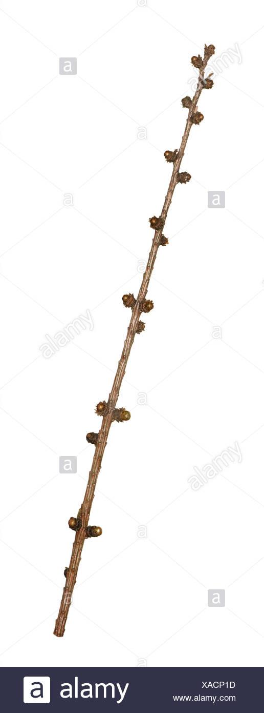 European Larch - Larix decidua - winter twig - Stock Image