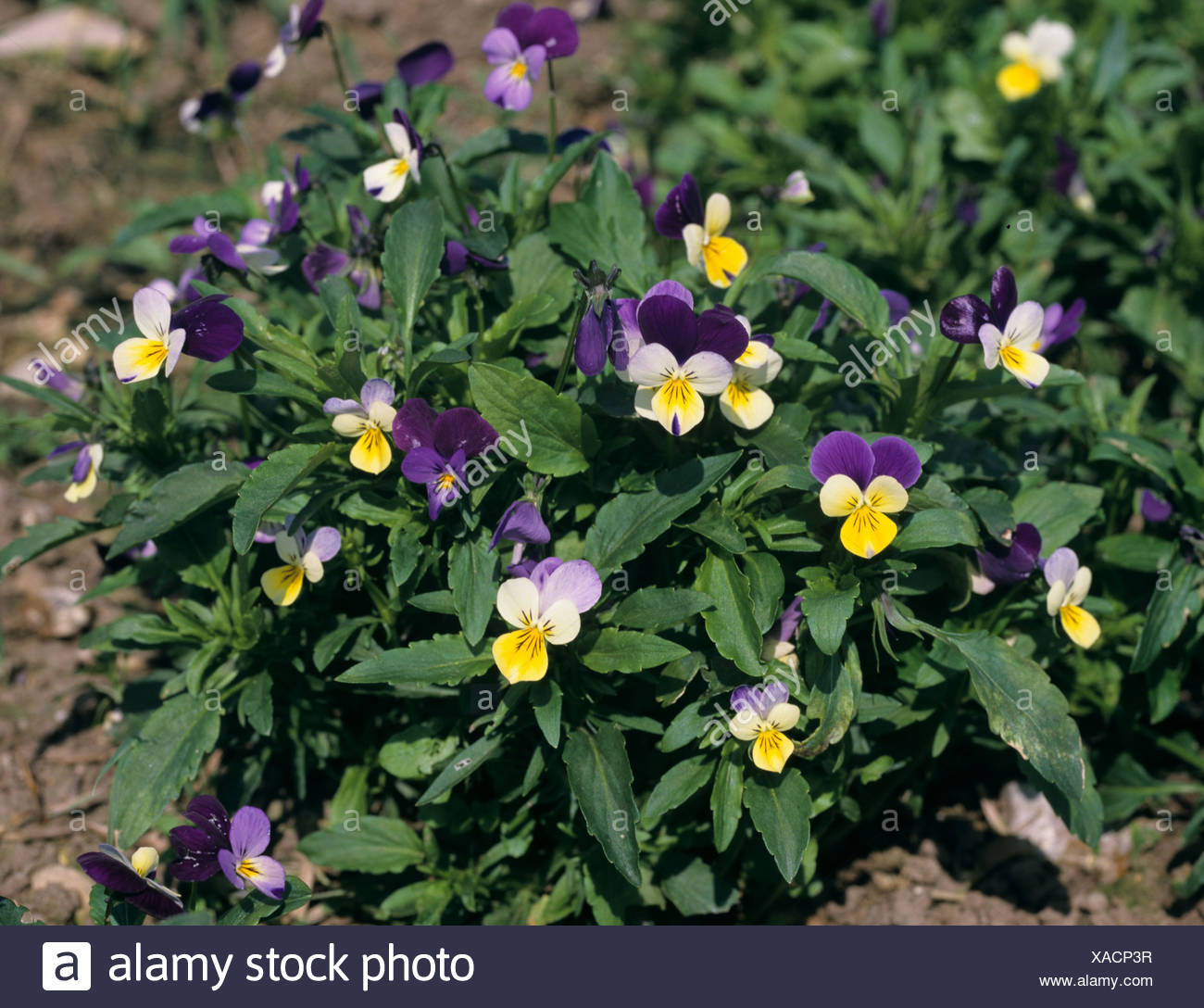 Heartsease johnny jumpup or wild pansy (Viola tricolor) flowering plants - Stock Image
