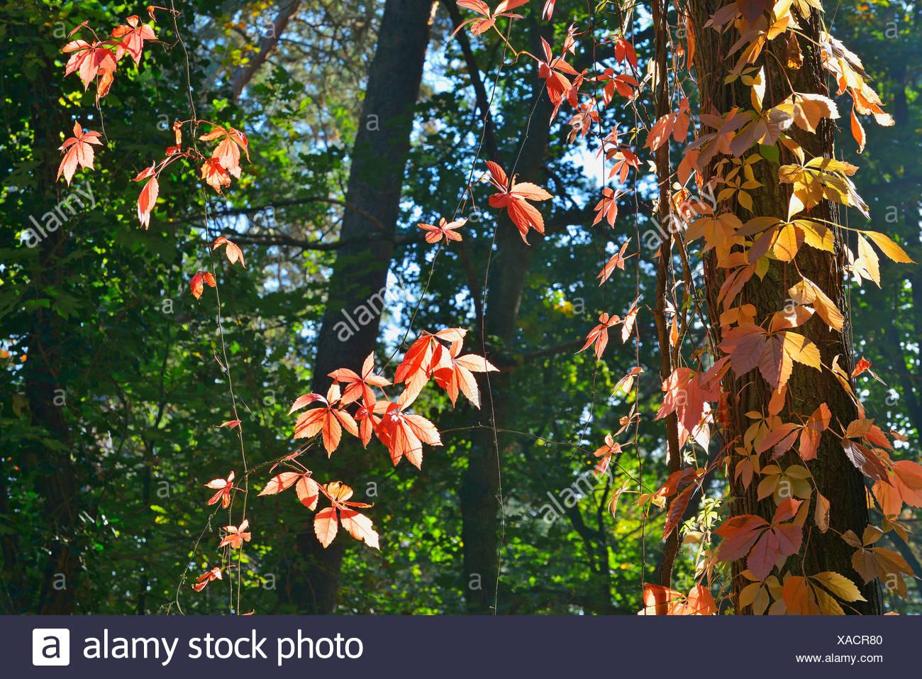 false Virginia-creeper (Parthenocissus inserta, Parthenocissus quinquefolia agg.), in autumn, Germany, Bavaria, Franken, Franconia - Stock Image