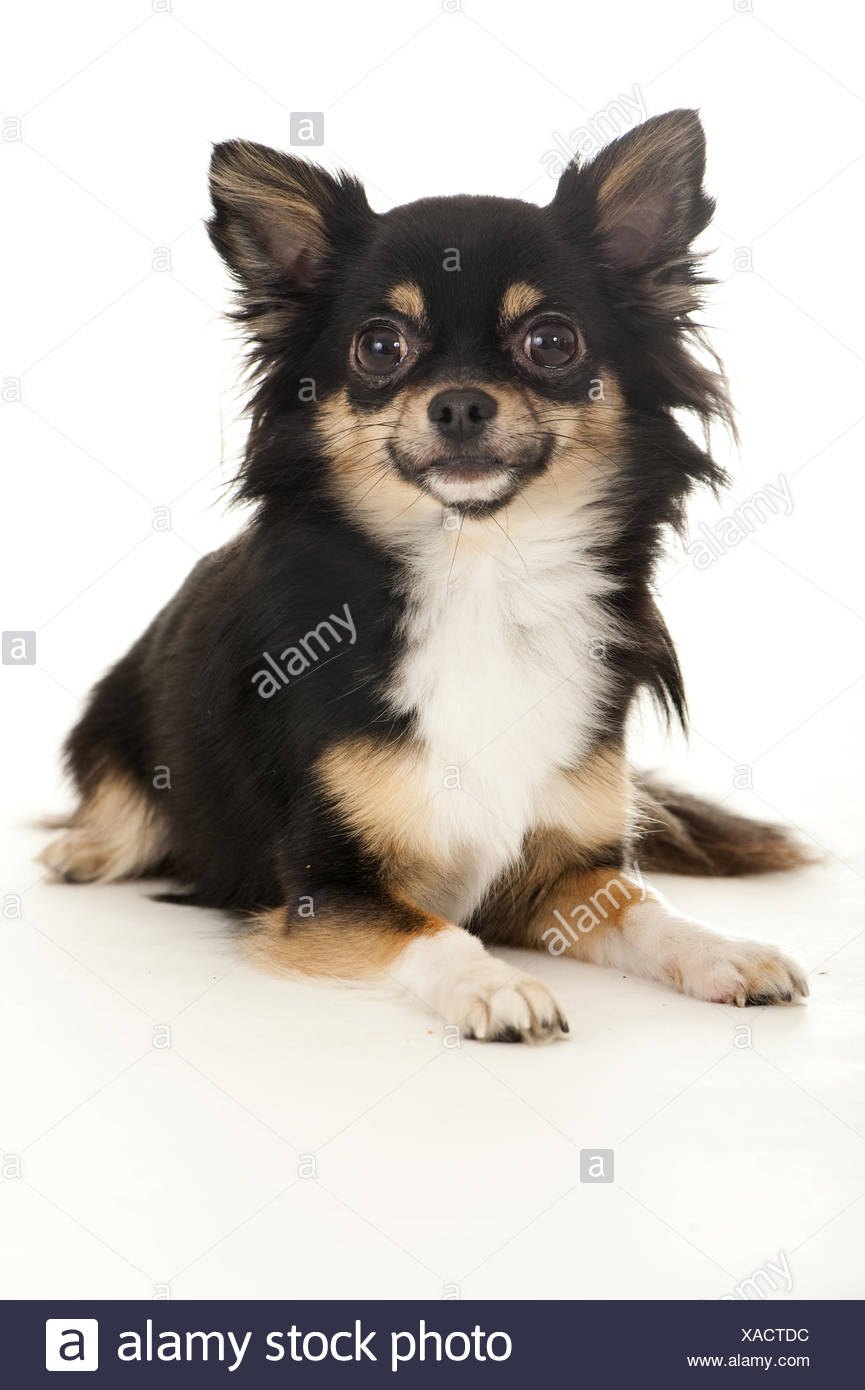 chihuahua tricolor - Stock Image