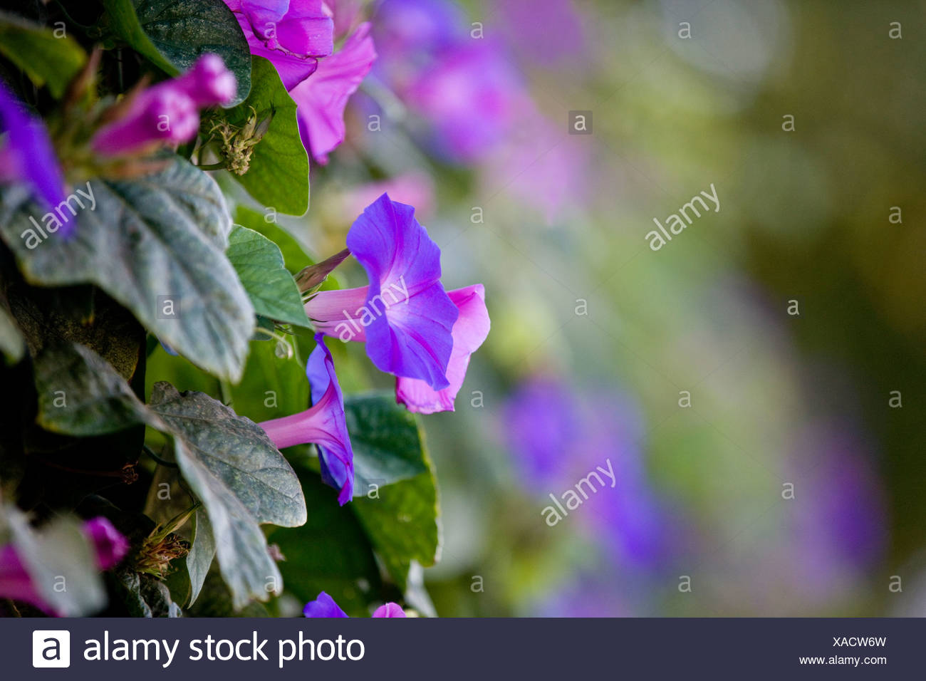 Purple bindweed or morning glory flowers - Stock Image