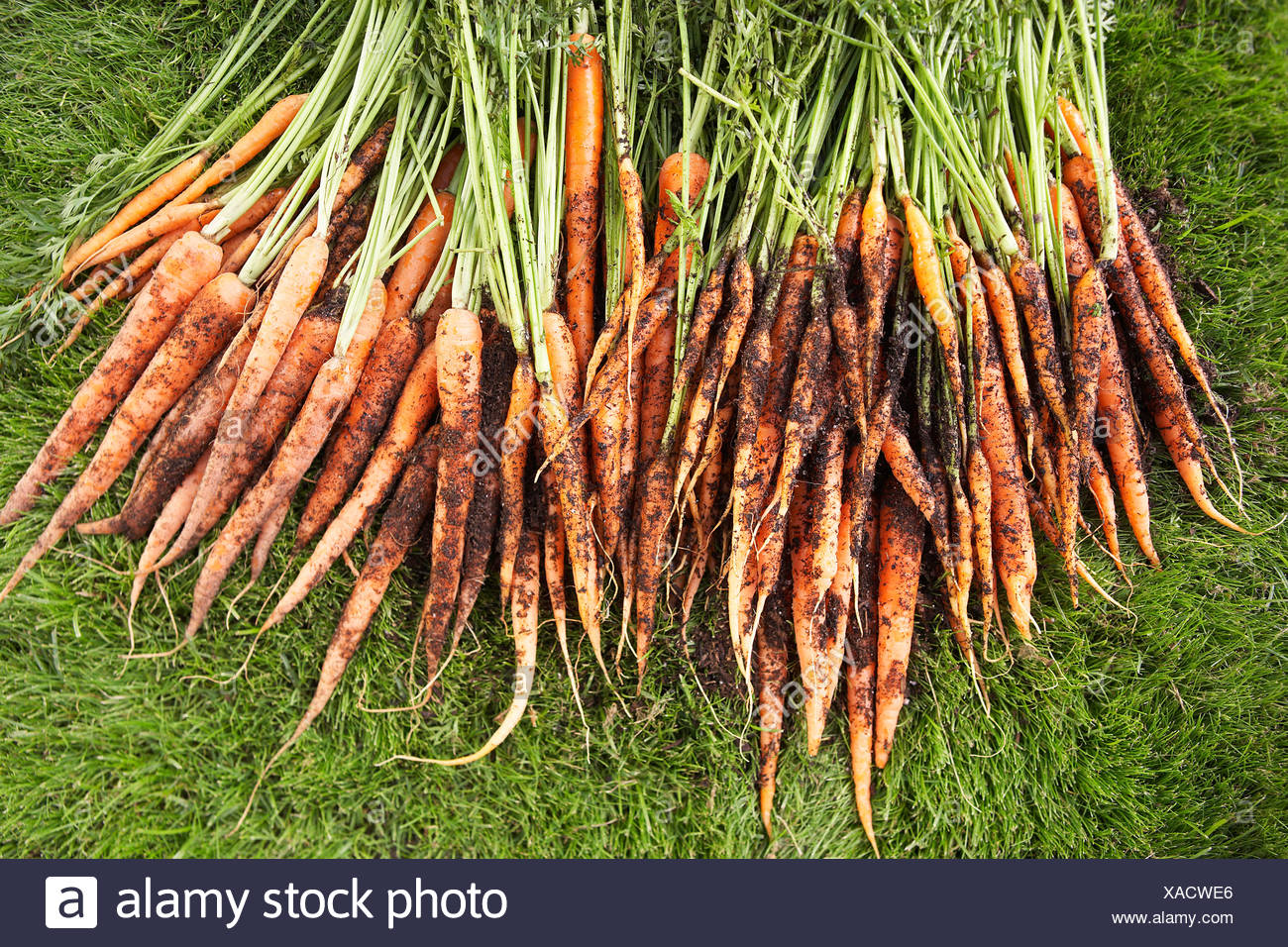 Freshly picked carrots on lawn - Stock Image