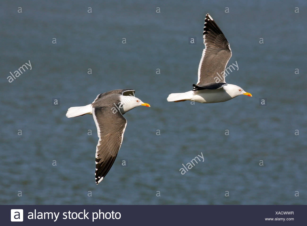 Lesser black-backed gulls flying above the sea (Larus fuscus) Stock Photo