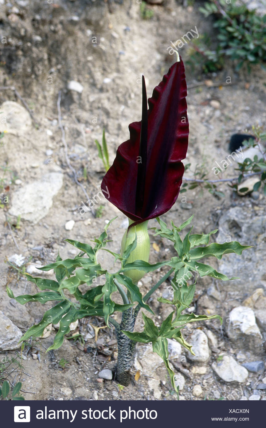 arum arrowroot, dragon arum, voodoo lily (Dracunculus vulgaris), blooming, Greece, Creta, Paleochora Stock Photo