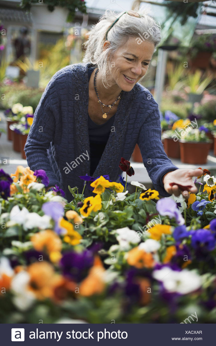 A woman working tending flowering plants on a workbench in a bin a glass house - Stock Image