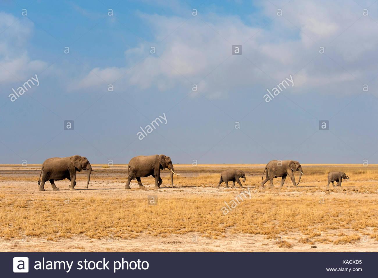 African elephant (Loxodonta africana), family of elephants walking through the savannah, Kenya, Amboseli National Park - Stock Image