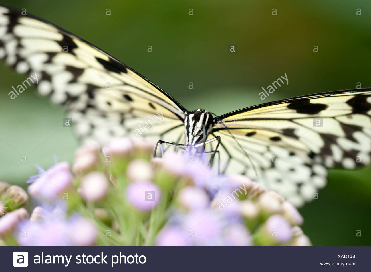 Tree Nymph Butterfly Idea leuconoe South Asia - Stock Image