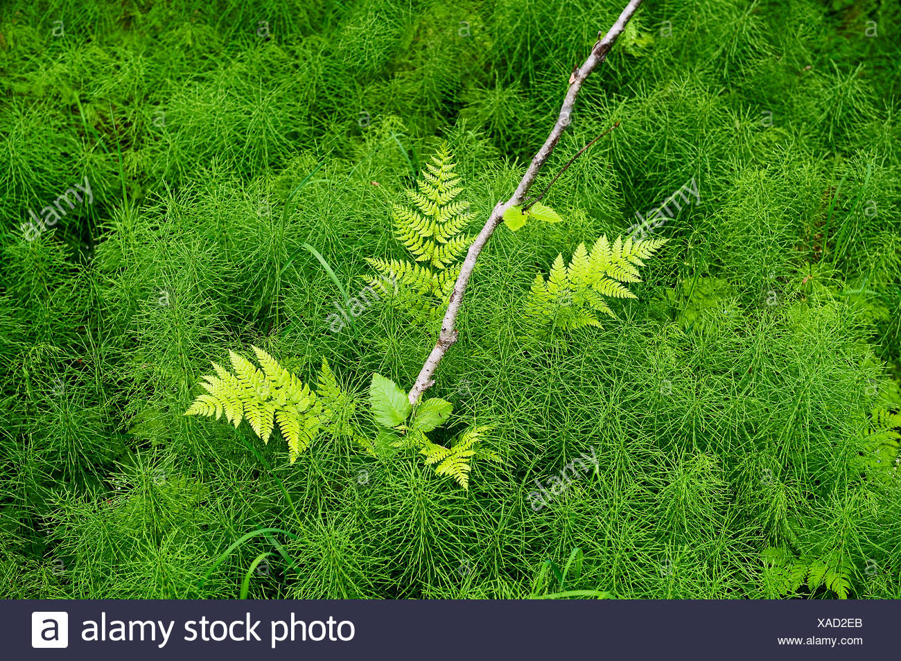 Fern and green undergrowth on the forest floor, Chugach National Forest, Alaska, USA - Stock Image