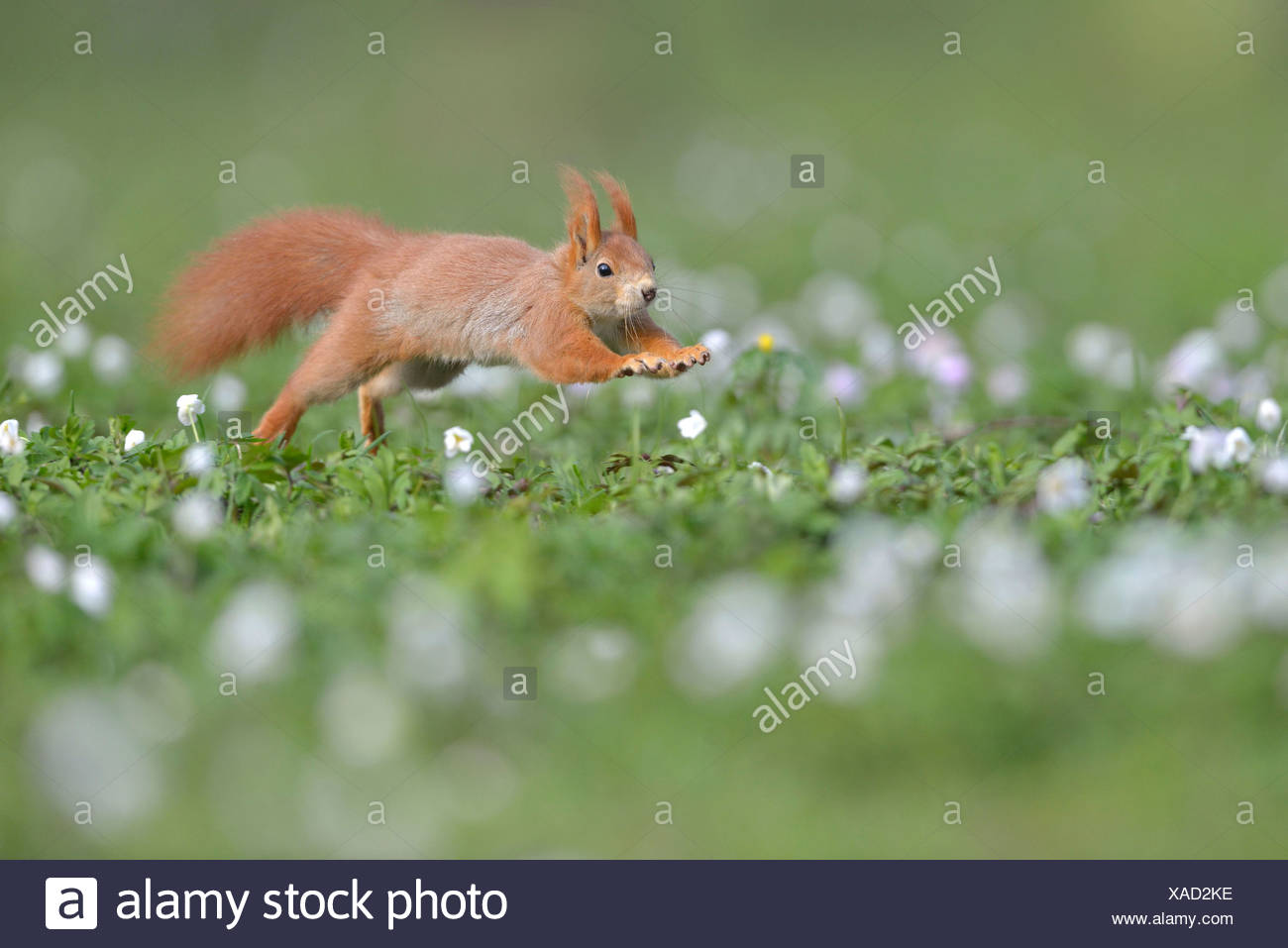 Red Squirrel or Eurasian Red Squirrel (Sciurus vulgaris), running, Saxony, Germany - Stock Image