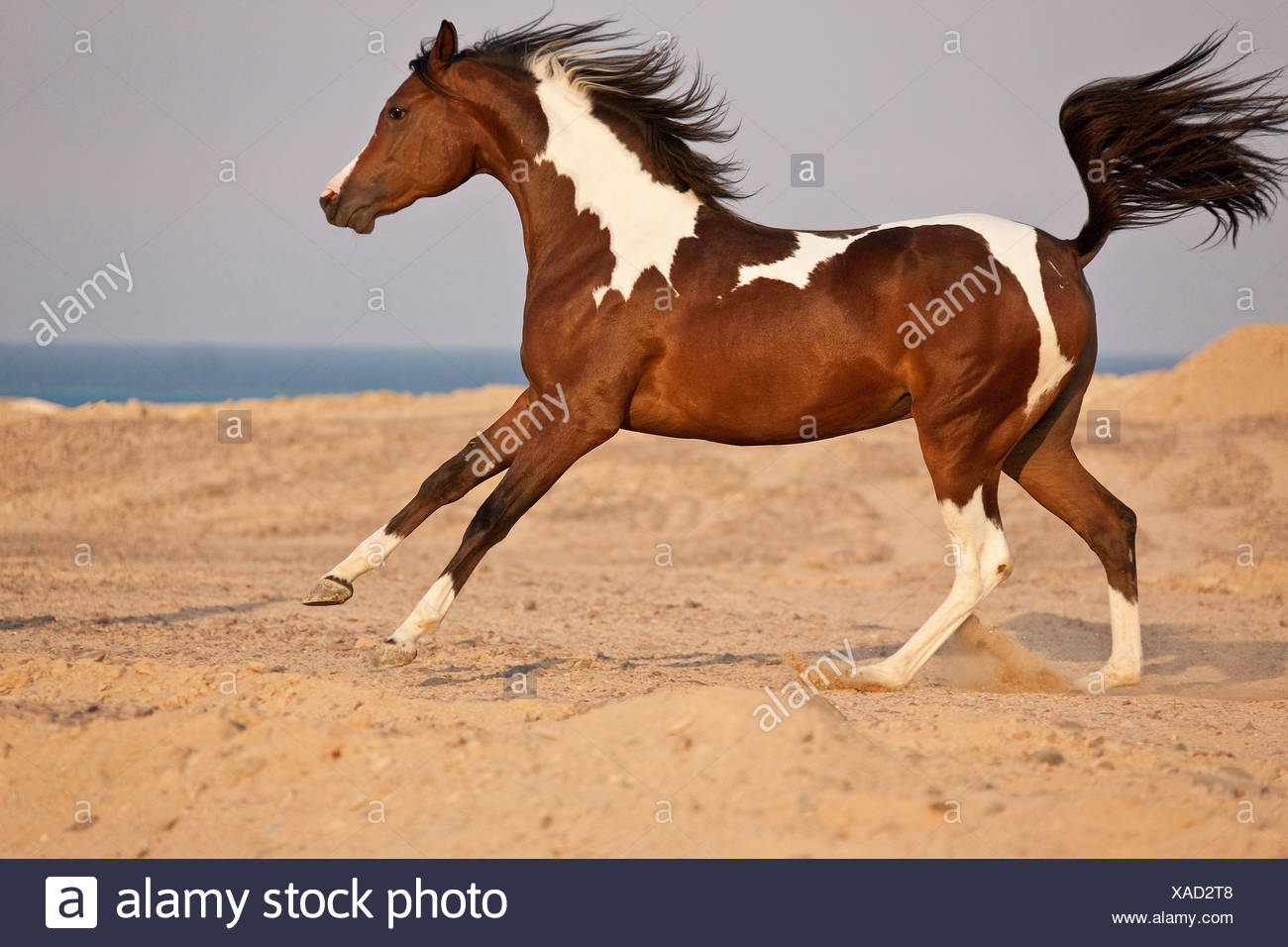 Arabian Horse Galloping Sand Stock Photo Alamy