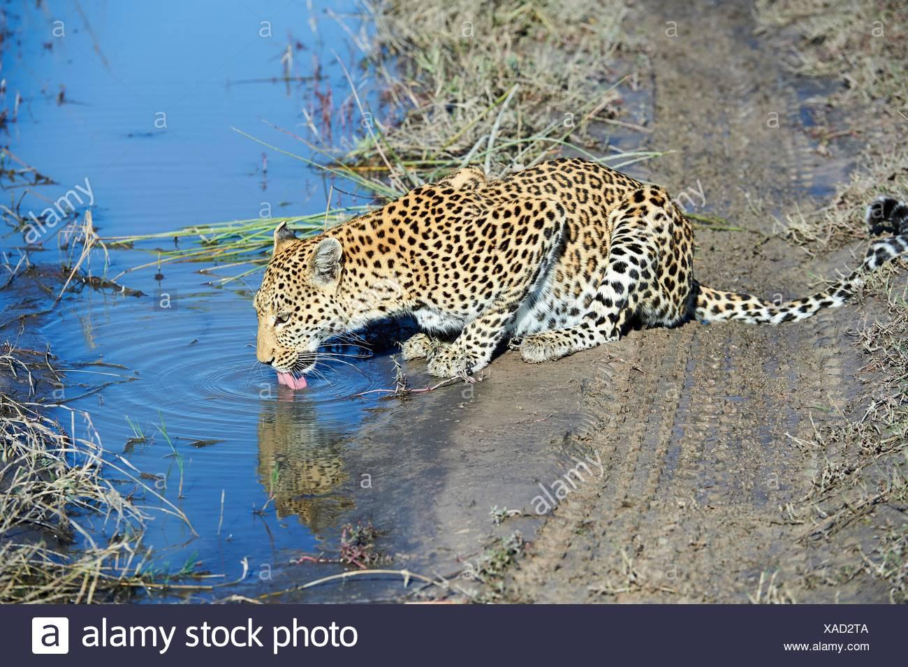 African leopard female (Panthera pardus) drinking. Moremi National Park, Okavango delta, Botswana, Southern Africa. - Stock Image