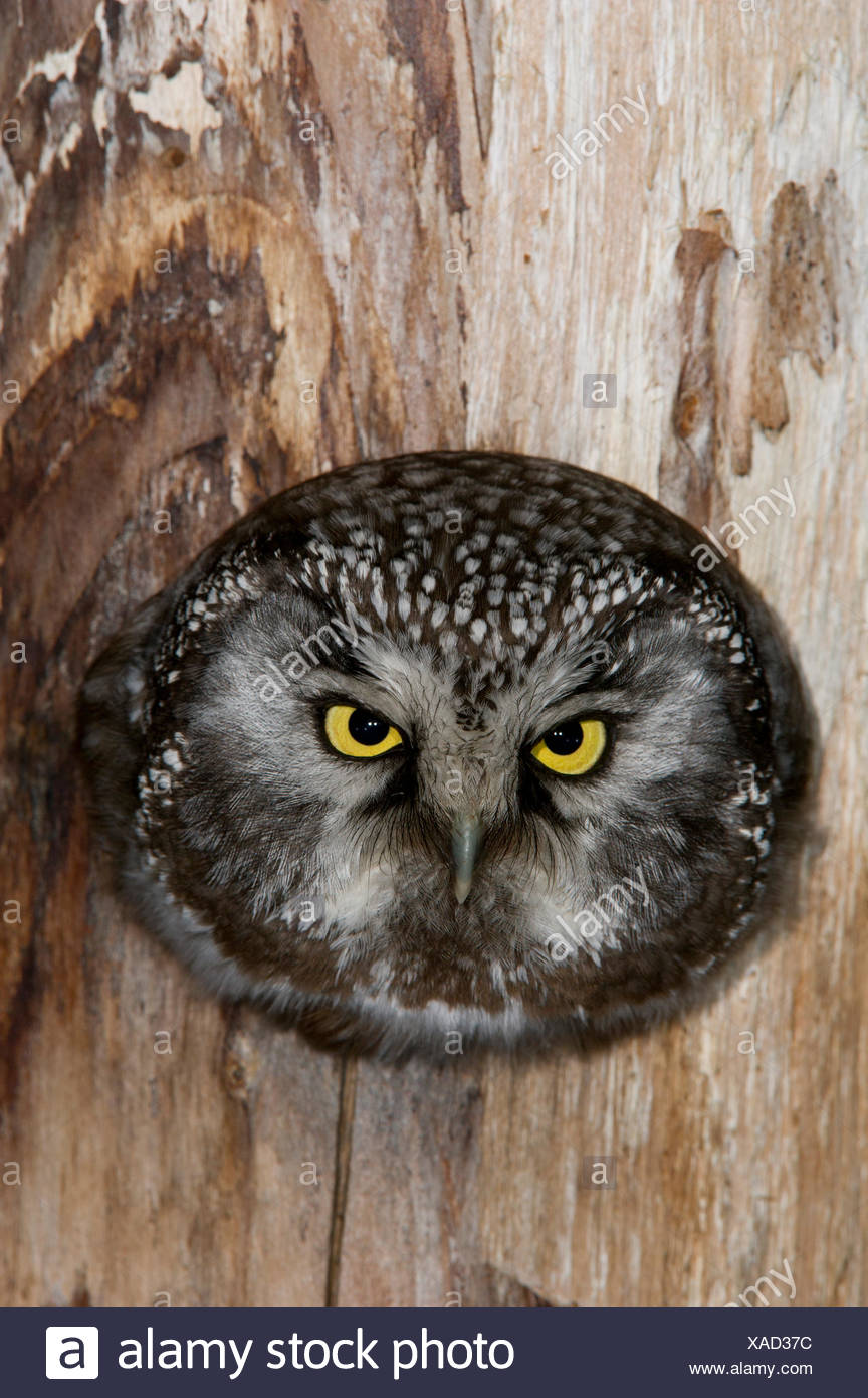 A boreal owl in the hollow of a tree. - Stock Image