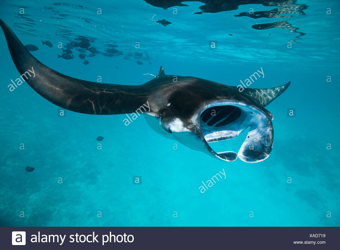 Reef Manta, Manta alfredi, Felidhu Atoll, Maldives Stock Photo