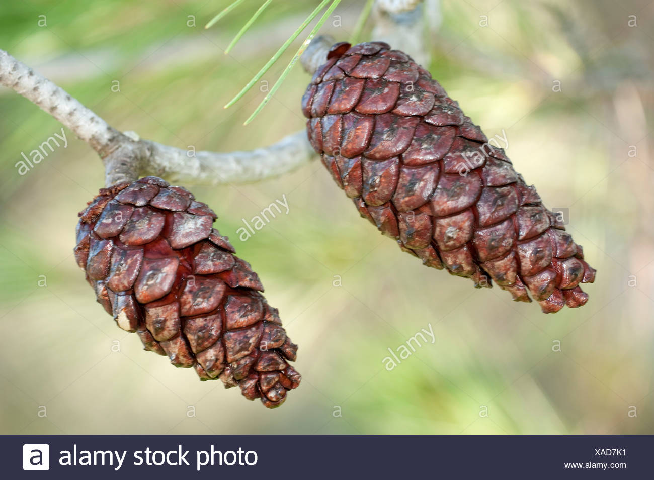Pair of Pine Cones on tree Andalucia Spain - Stock Image