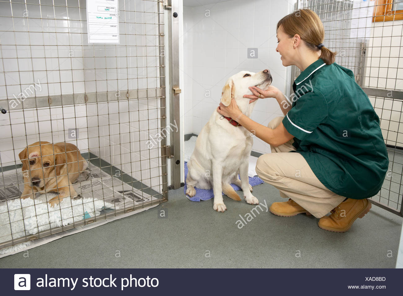Vetinary Nurse Checking Sick Animals In Pens - Stock Image