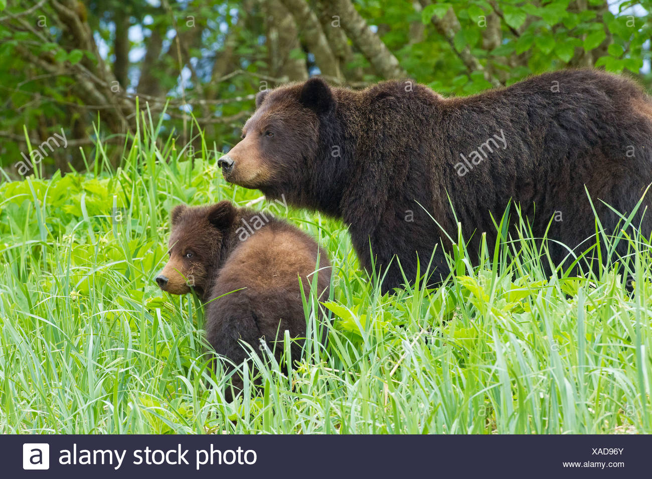 A Brown bear sow and cub forage on sedge and beach grass at the edge of an estuary on Admiralty Island, Alaska - Stock Image