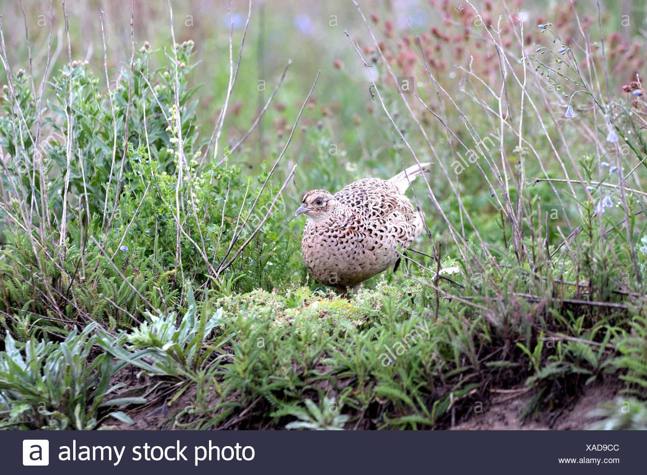 Pheasant, common pheasant, gallinaceous birds, Phasianus colchicus mongolicus, partridges, bird, galliforms, pheasants, partridg - Stock Image