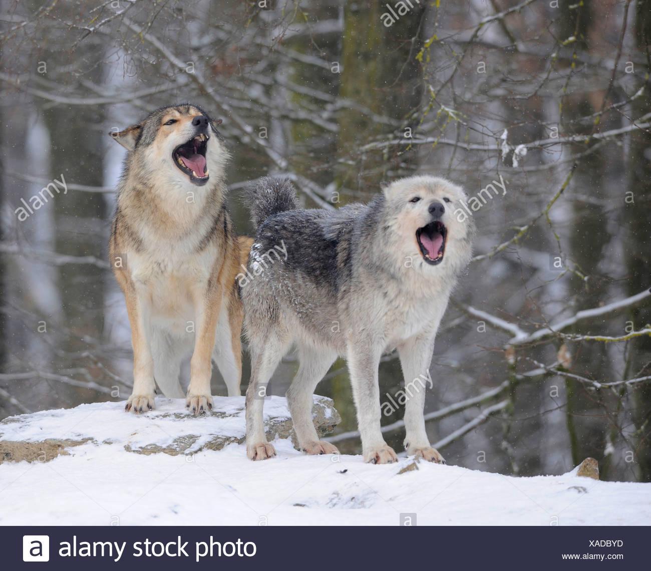 Mackenzie valley wolf - photo#47