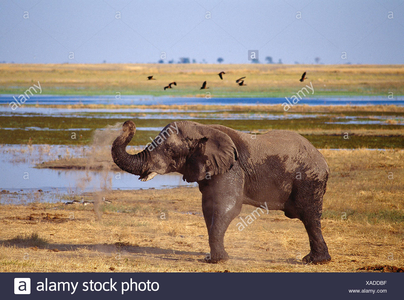 Africa. Botswana. Chobe National Park. Wildlife. Elephant. - Stock Image