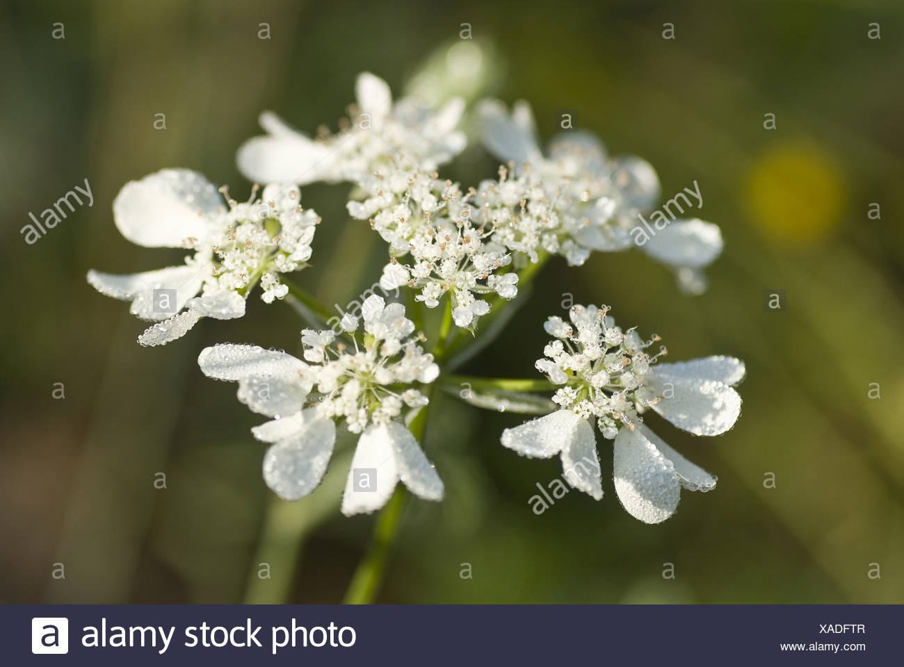 orlaya grandiflora Stock Photo