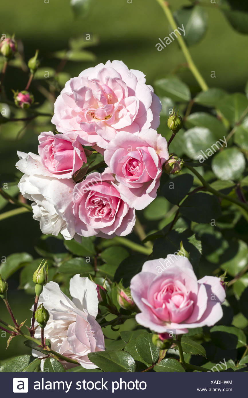 Rosa Dortmunder Kaiserhain, shrub rose Stock Photo
