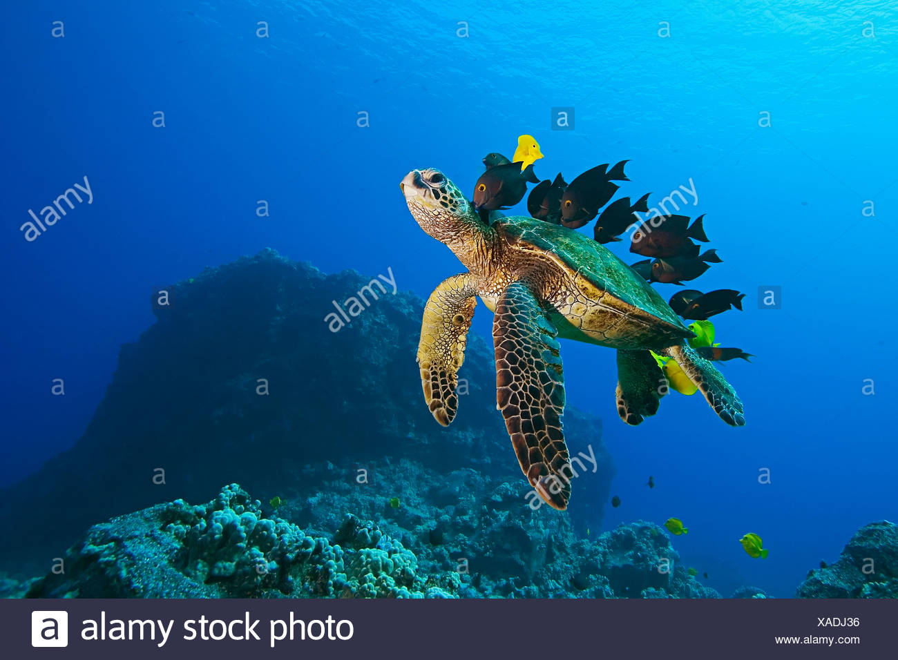 Endangered species, green sea turtle, Chelonia mydas, being cleaned by Yellow tang, Zebrasoma flavescens Stock Photo