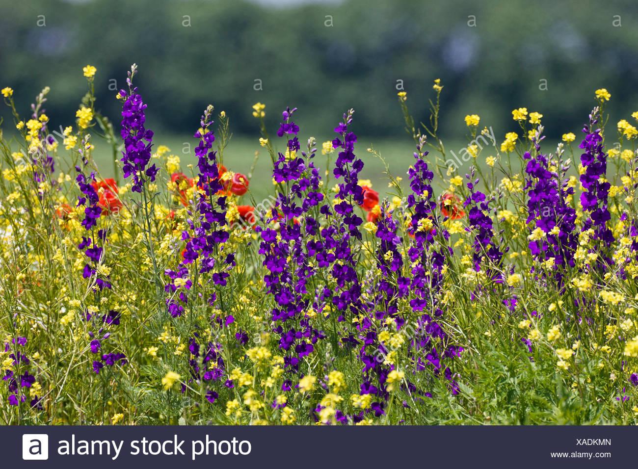 Doubtful knight's-spur, Larkspur, Annual Delphinium (Consolida ajacis, Delphinium ajacis), flowering meadow with Consolida ambigua, Bulgaria - Stock Image