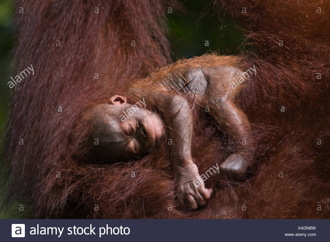 Orang utan (Pongo pygmaeus) baby sleeping in the arms of an adult, Semengoh Nature reserve, Sarawak, Borneo, Malaysia, Endangered - Stock Image