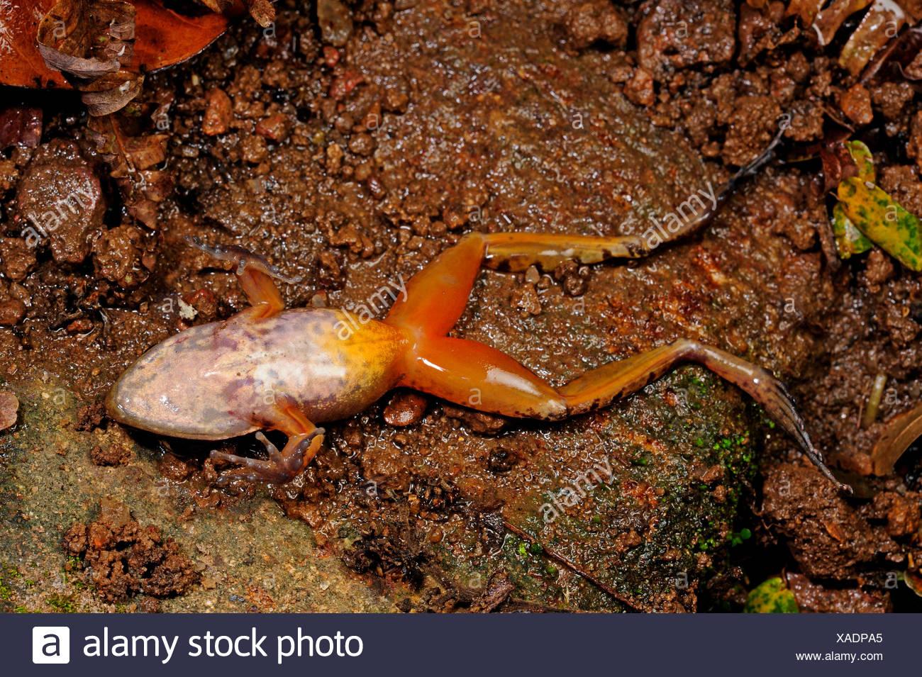 frog (Hylarana spec.), lying on ots back, Sri Lanka, Sinharaja Forest National Park - Stock Image