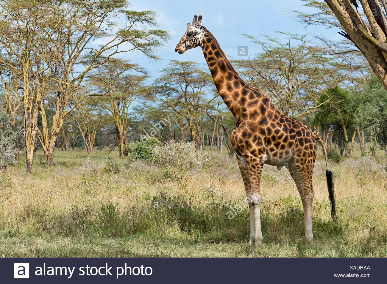 Rothschild's giraffe (Giraffa camelopardalis camelopardis) in bushland, Lake Nakuru National Park, Kenya - Stock Image