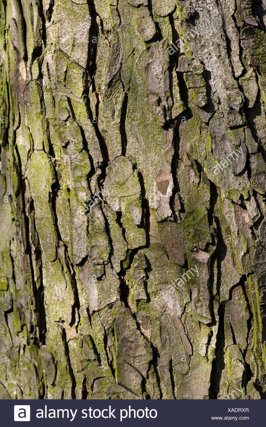 common horse chestnut (Aesculus hippocastanum), bark, Germany - Stock Image