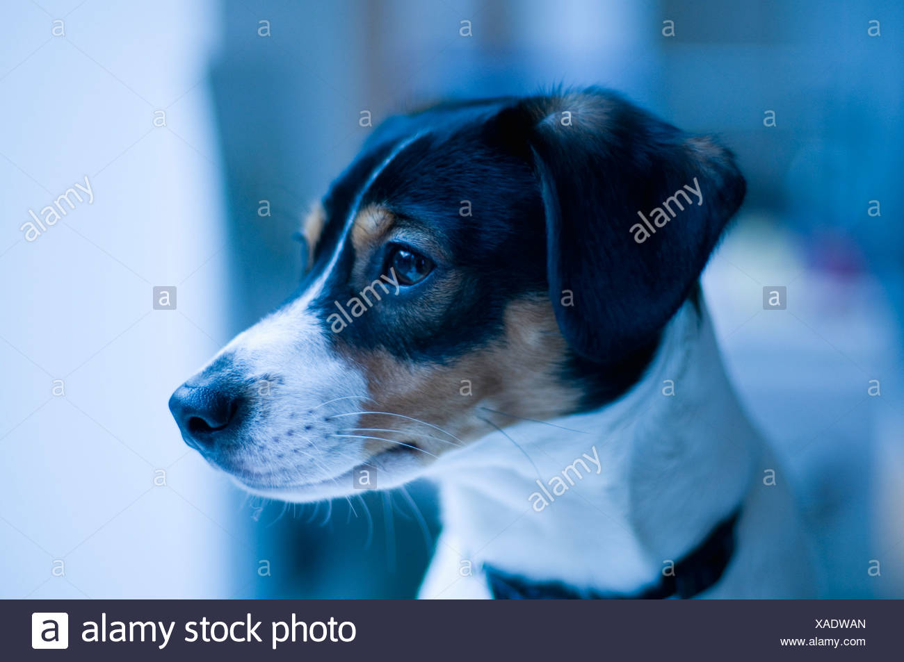 Dog looking away - Stock Image