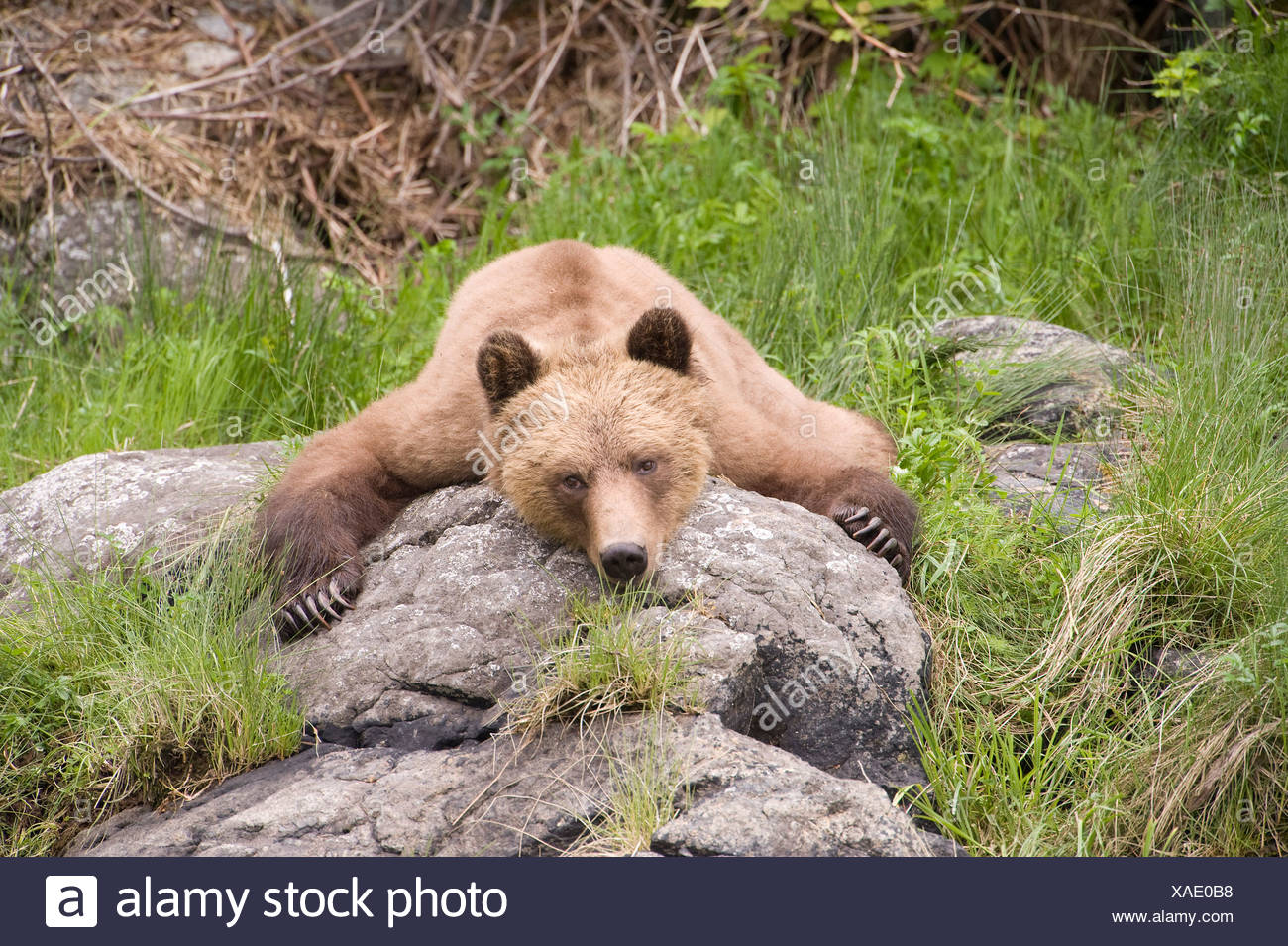 Grizzly bear Ursus arctos horribilis Knight Inlet British Columbia Stock Photo