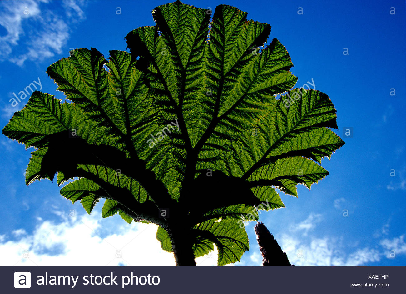Gunnera Insignis Giant rhubarb leaf Gunneraceae Volcan Poas Costa Rica Central America plant plants blue sky - Stock Image