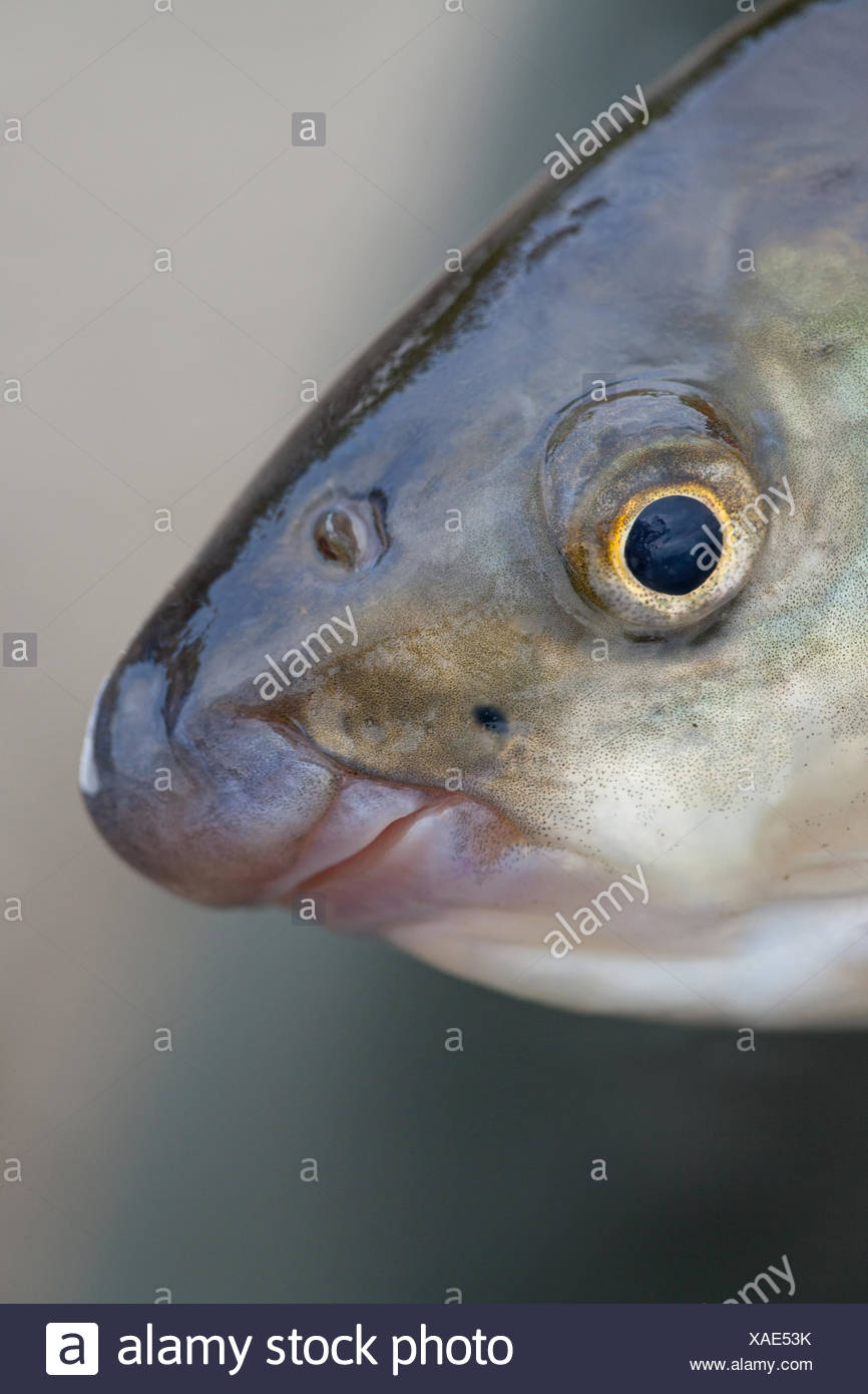 portrait of an adult nase Stock Photo